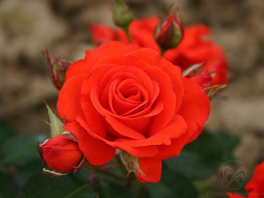 Саженец розы Корас: фото и описание