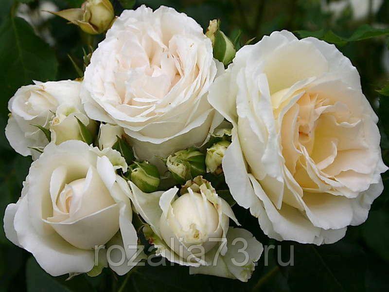 Саженец розы Космос: фото и описание