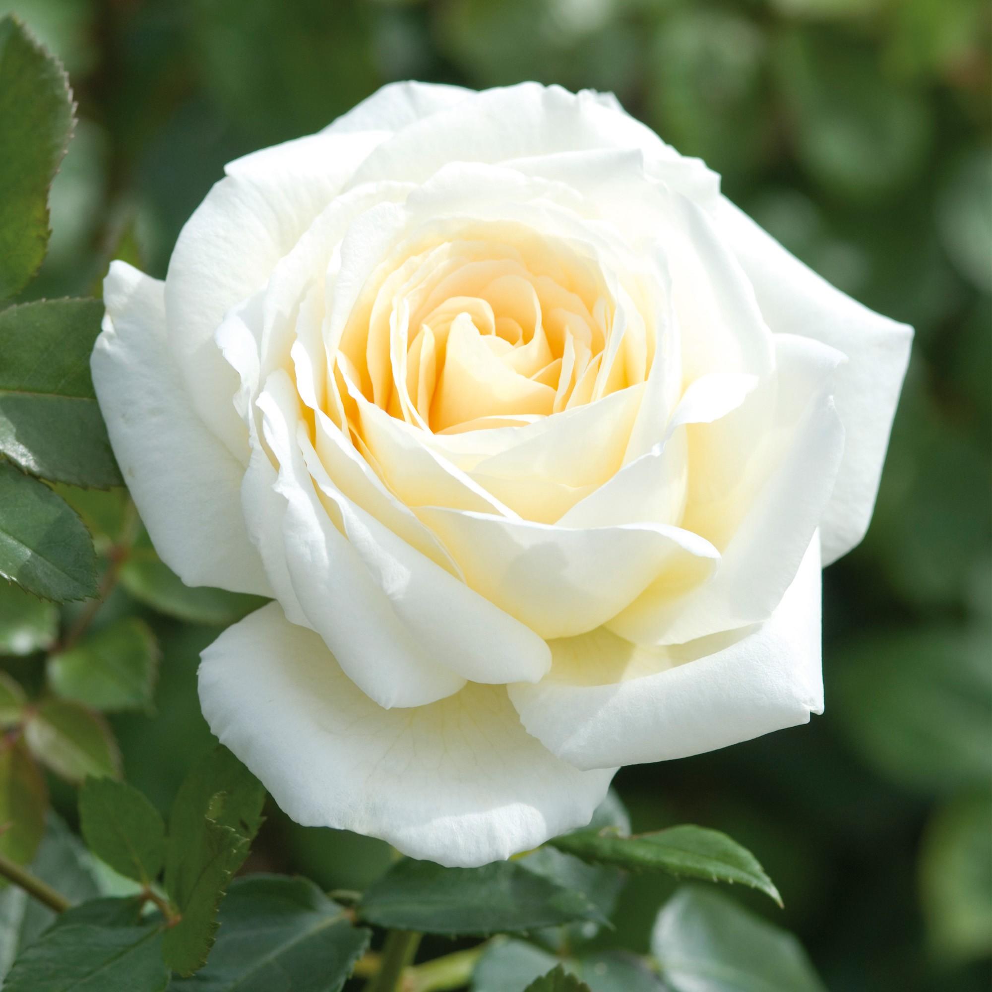 Саженец розы Крем де ля крем: фото и описание