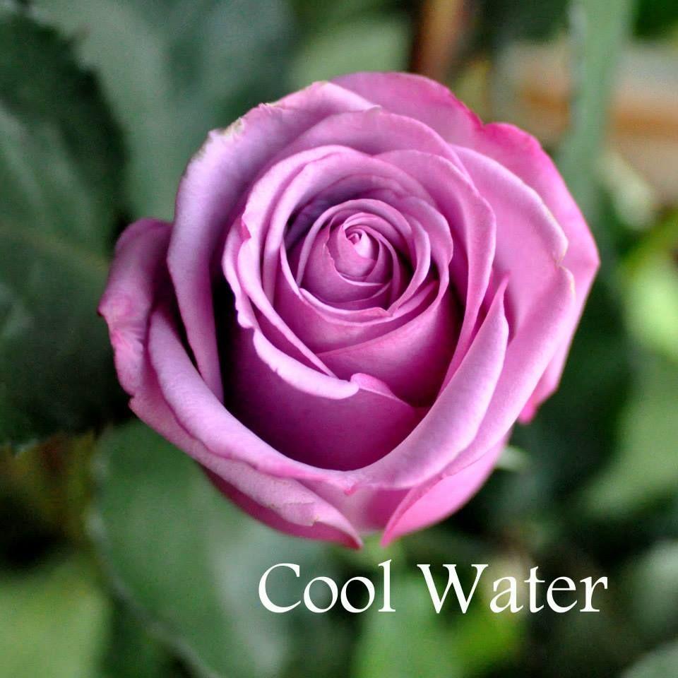Саженец розы Кул Вотер: фото и описание
