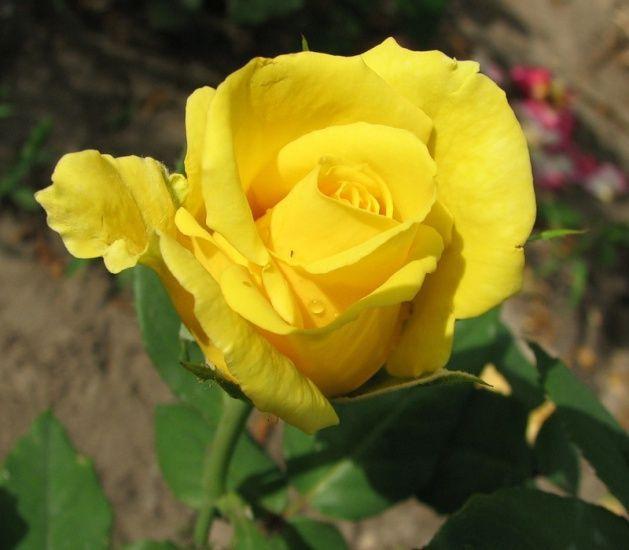 Саженец розы Ландора: фото и описание