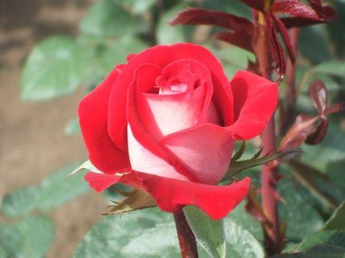 Саженец розы Латин Леди: фото и описание