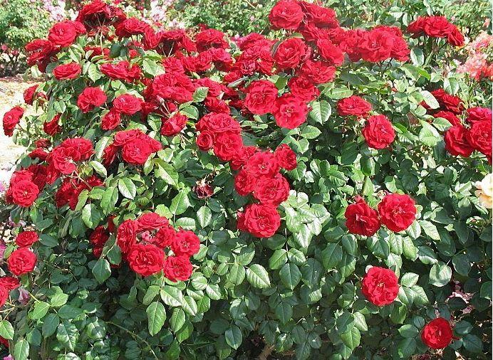 Саженец розы Лаваглут: фото и описание