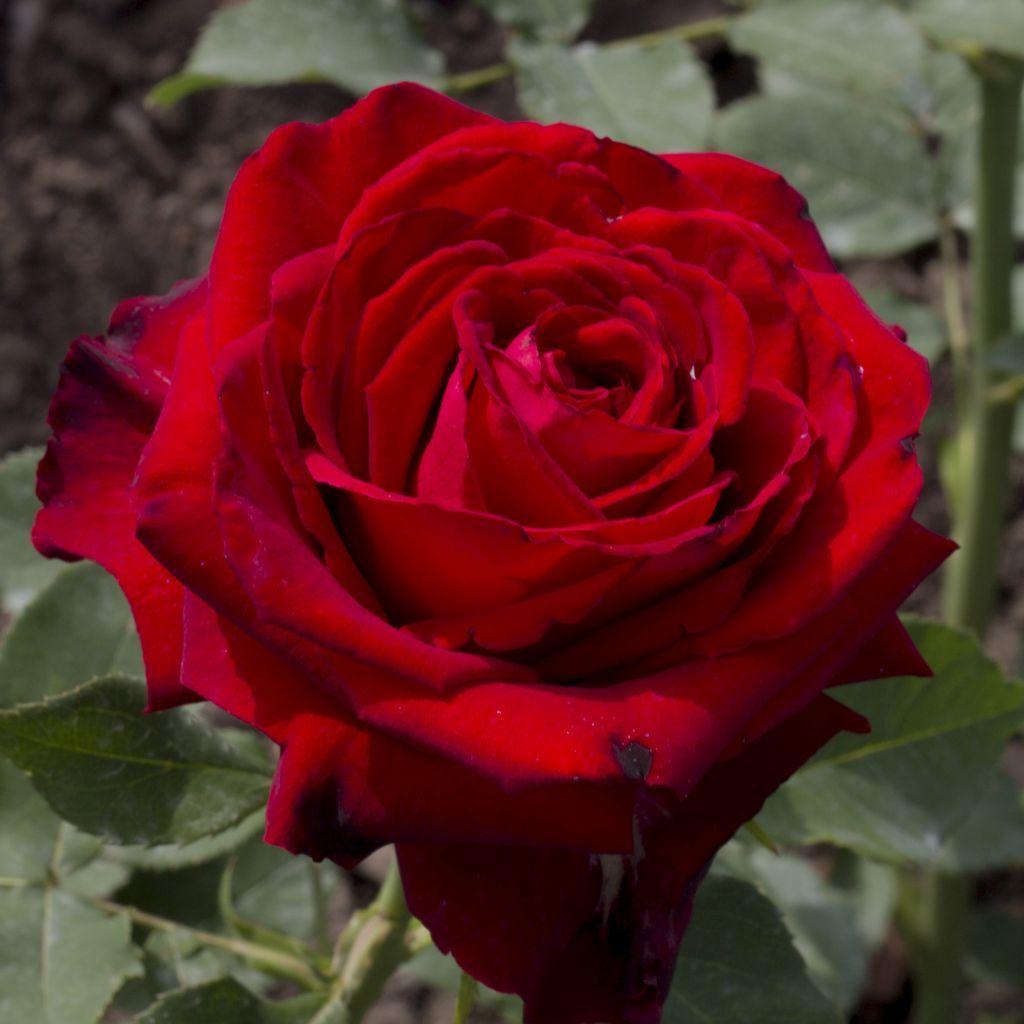 Саженец чайно-гибридной розы Лавли Ред: фото и описание
