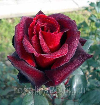 Саженец розы Лавралет: фото и описание