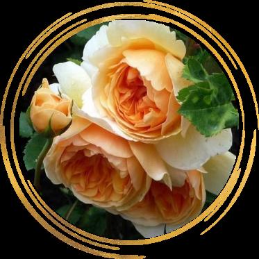 Саженец розы Леди оф Шалот: фото и описание