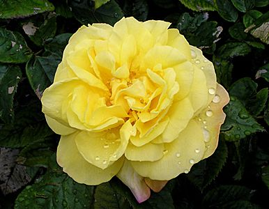 Саженец парковой розы Лихткёнигин Лючия: фото и описание