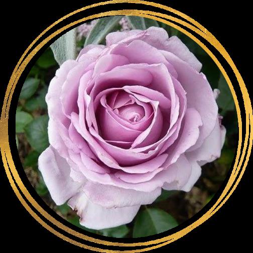 Саженец розы Ля Роз дю Пети Принс: фото и описание
