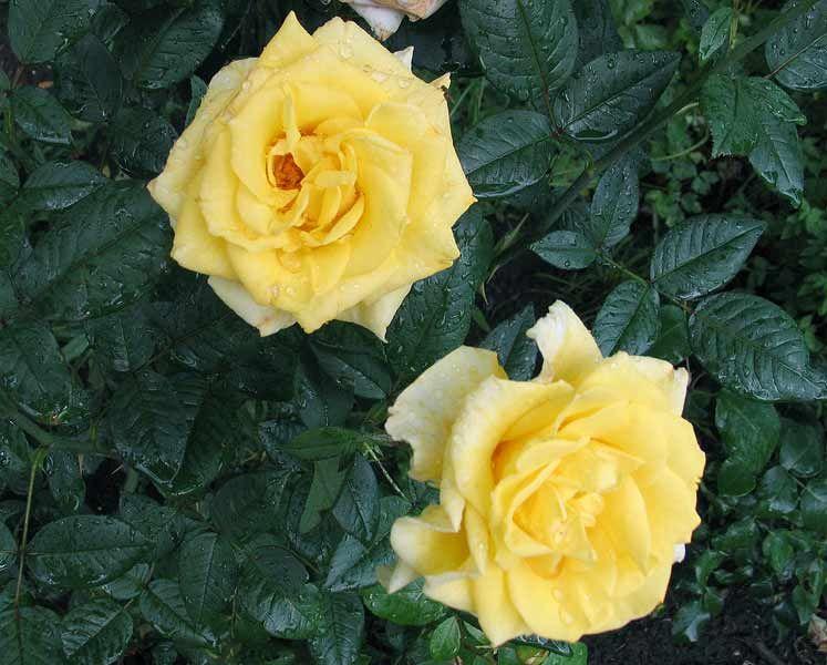Саженец розы Мабелла: фото и описание