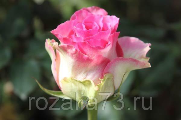 Саженец розы Малибу: фото и описание