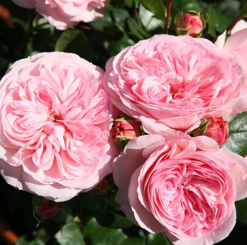Саженец розы Мария Терезия: фото и описание