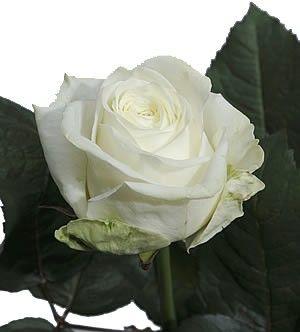 Саженец чайно-гибридной розы Маруся: фото и описание