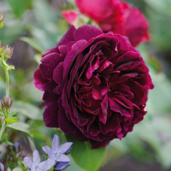 Саженец розы Маунстеад Вуд: фото и описание