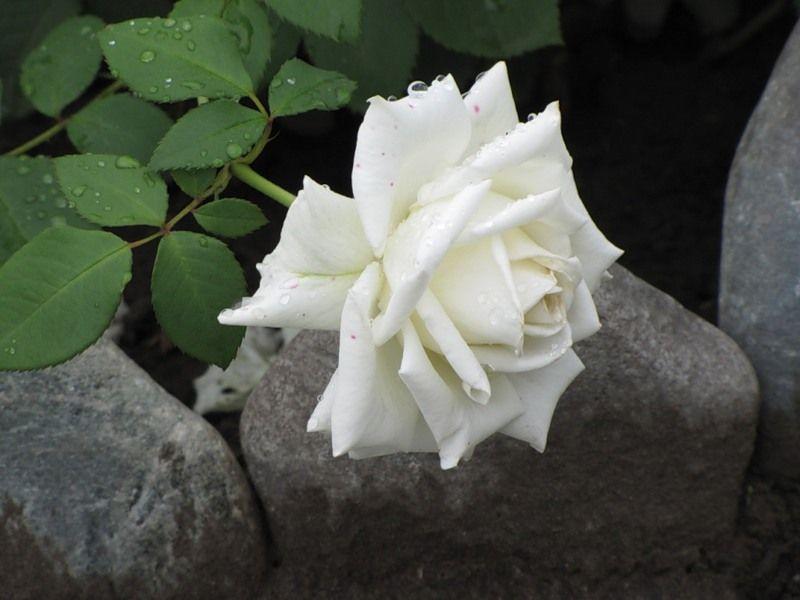 Саженец чайно-гибридной розы Маунт Шаста: фото и описание