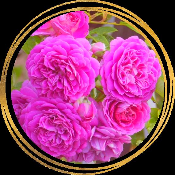 Саженец шраб розы Мелина: фото и описание