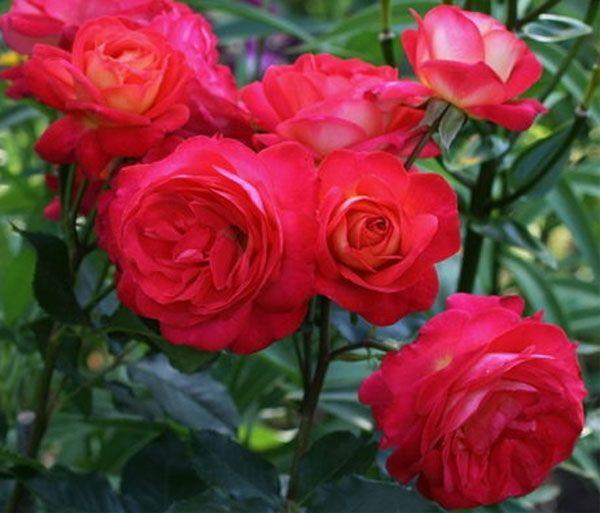 Саженец розы Мидсамэ: фото и описание