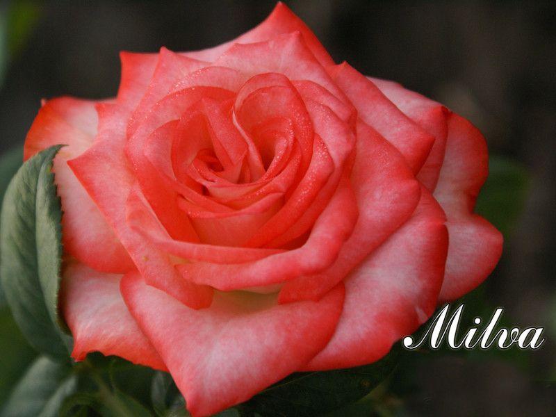Саженец розы Milva: фото и описание