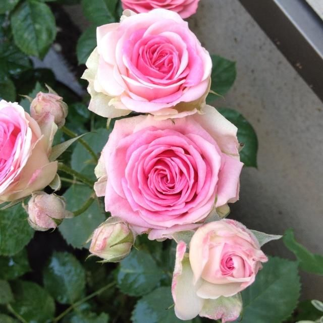 Саженец розы Мими Эден: фото и описание