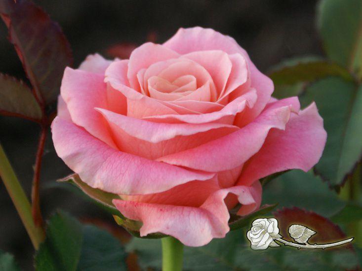 Саженец розы Мисс Пигги: фото и описание