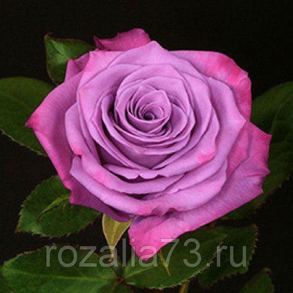 Саженец розы МодиБлюз: фото и описание