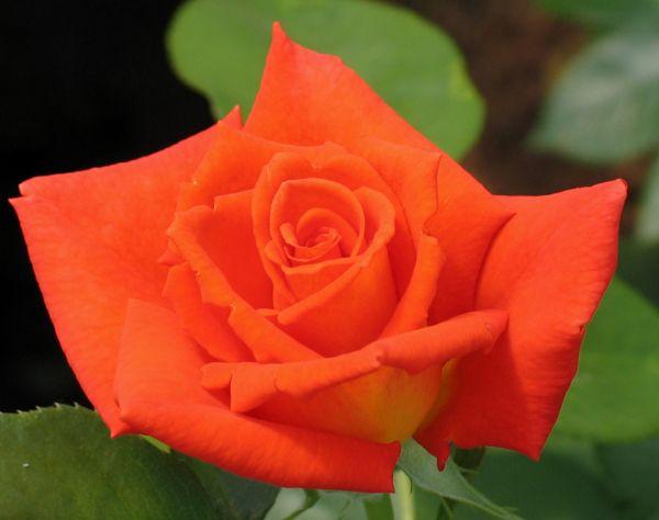 Саженец чайно-гибридной розы Моника: фото и описание