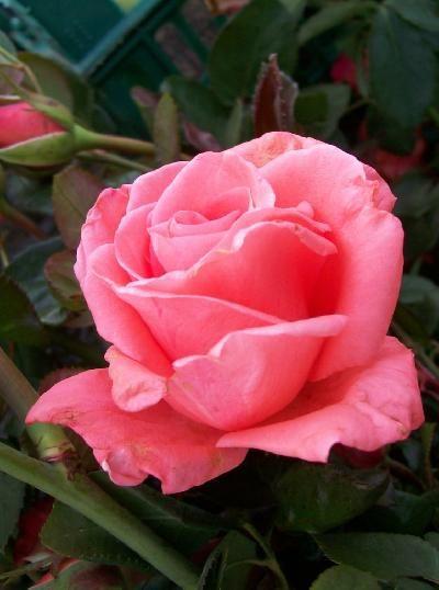 Саженец розы Набила: фото и описание