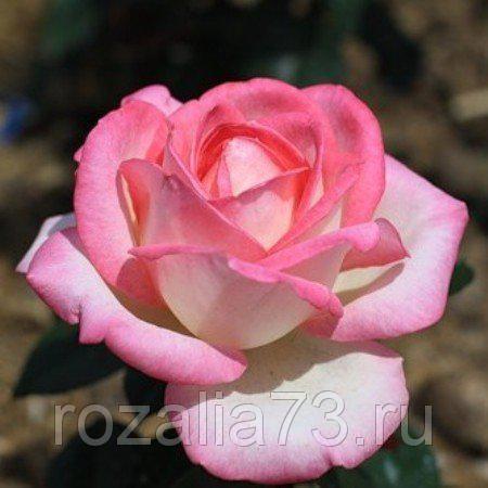 Саженец розы Невеста: фото и описание
