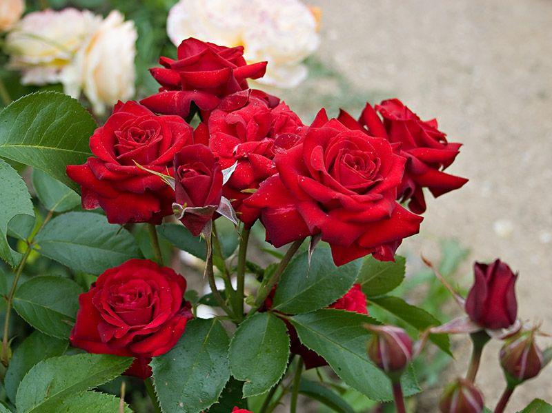 Саженец розы Никколо Паганини: фото и описание