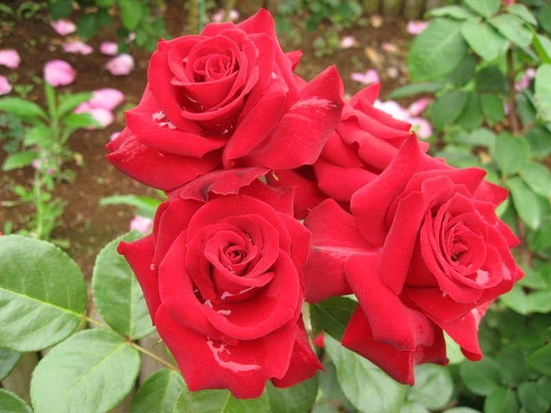 Саженец розы флорибунды Никколо Паганини: фото и описание