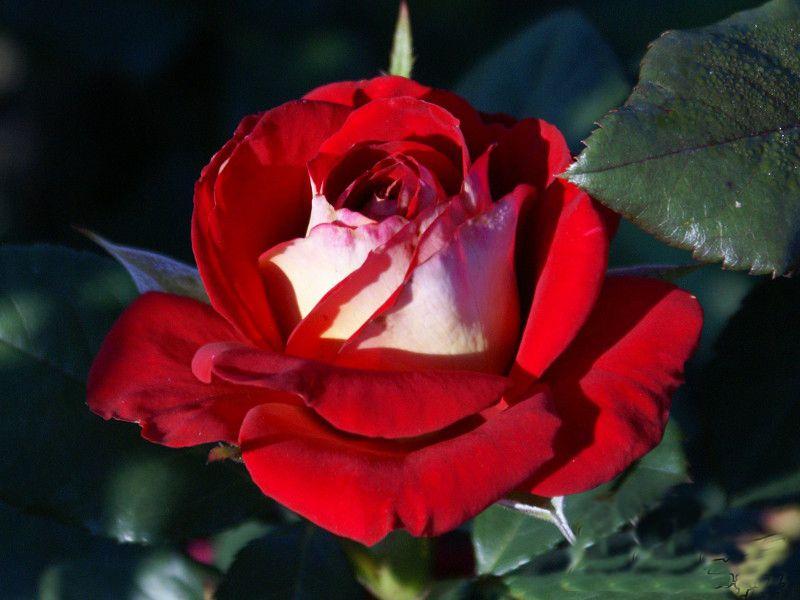 Саженец розы Нью Фешн: фото и описание