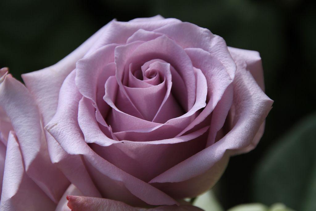 Саженец розы Ocean Song (Оушен Сонг): фото и описание