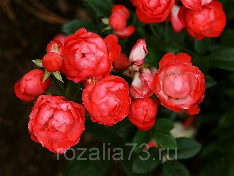 Саженец розы Оранж Морсдаг: фото и описание