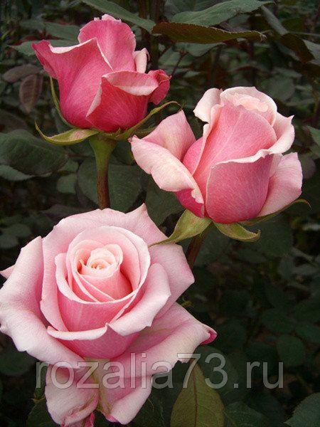 Саженец розы Панама: фото и описание