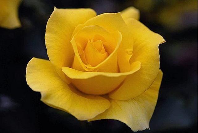 Саженец розы Папилон: фото и описание