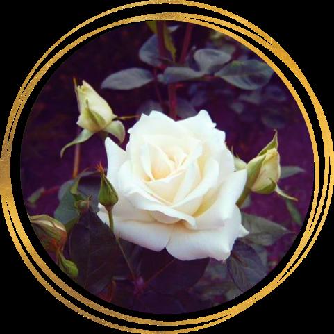 Саженец розы Паскаль: фото и описание