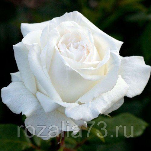 Саженец розы Пьер Ардити: фото и описание