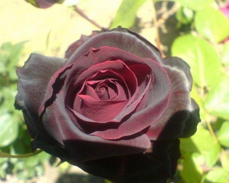 Саженец розы Перль Нуар: фото и описание