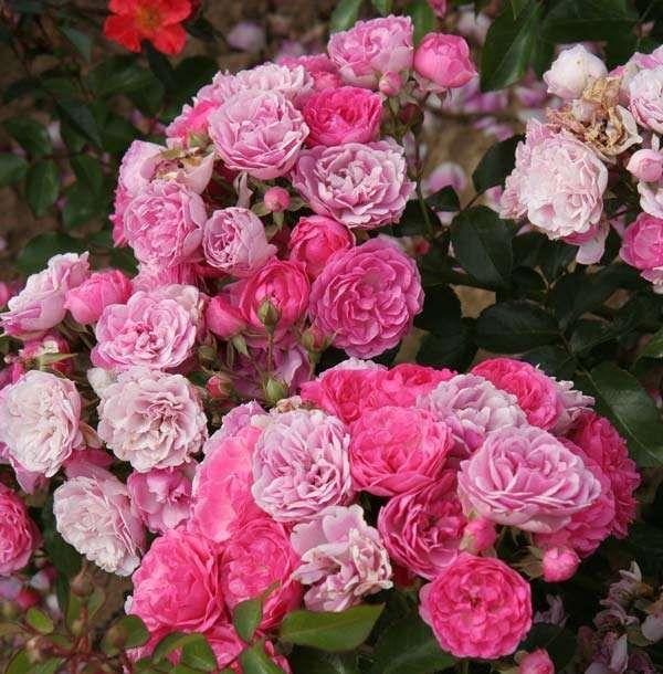 Саженец розы Пинк Флорилэнд: фото и описание