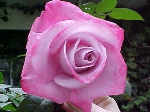 Саженец розы Пинк Парадайз: фото и описание
