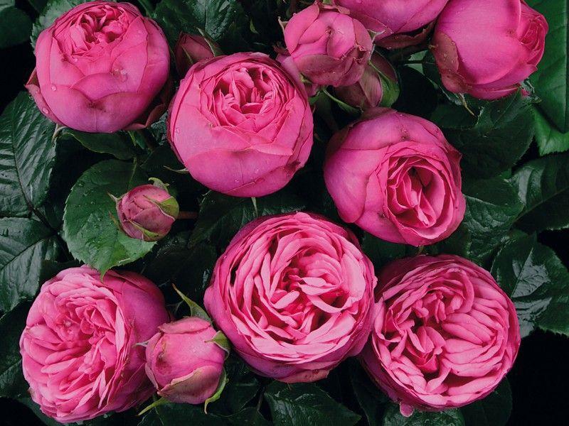 Саженец розы Пинк Пиано: фото и описание