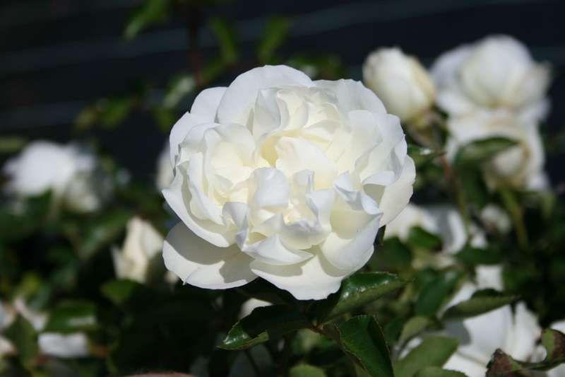 Саженец плетистой розы Блан Мейдиланд: фото и описание