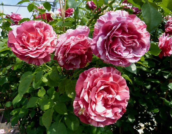 Саженец плетистой розы Брауни: фото и описание