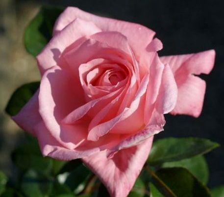 Саженец плетистой розы Дэнсин Куин: фото и описание