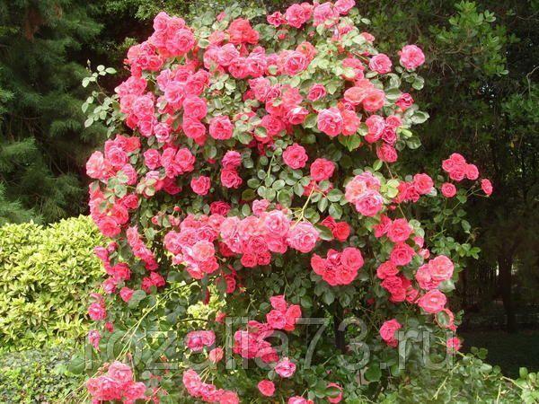 Саженец плетистой розы Девичьи грёзы: фото и описание