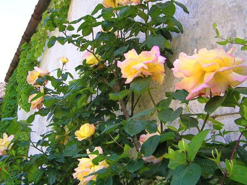 Саженец плетистой розы Глория Дэй: фото и описание