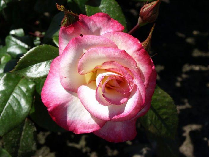 Саженец плетистой розы Хендель: фото и описание