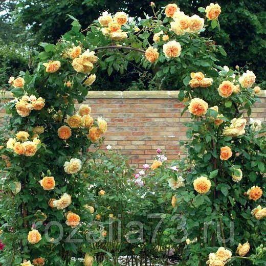 Саженец плетистой розы Мишка: фото и описание