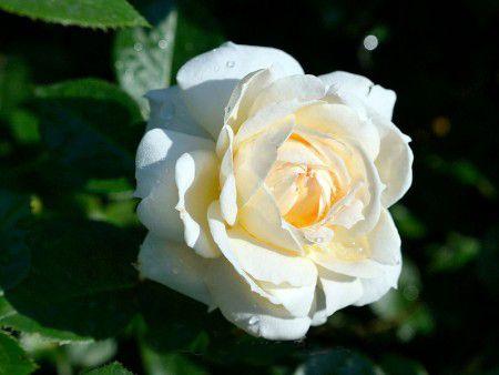Саженец плетистой розы Монд Жарден: фото и описание