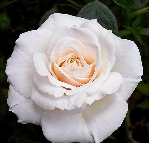 Саженец плетистой розы Пенни Лэйн: фото и описание