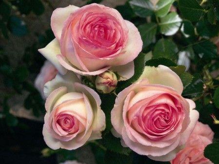 Саженец плетистой розы Пьер де Ронсар: фото и описание